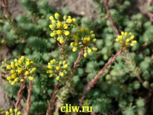 Очиток круглый (sedum globosum) толстянковые (crassulaceae)