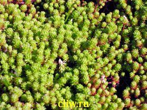 Очиток лидийский (sedum lydium) толстянковые (crassulaceae)