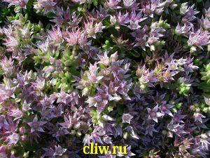 Очиток ложный (sedum spurium) толстянковые (crassulaceae) roseum