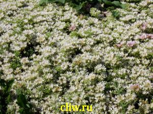 Очиток ложный (sedum spurium) толстянковые (crassulaceae) albescens