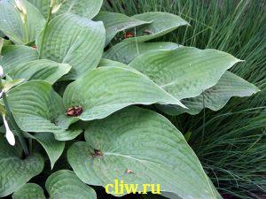 Хоста форчуна (hosta fortunei) хостовые (hostaceae) elegans