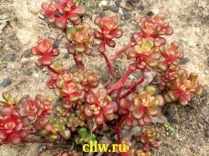 Очиток ореганум (sedum oreganum) толстянковые (crassulaceae)