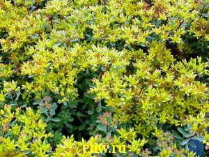 Очиток цветоносный (sedum floriferum) толстянковые (crassulaceae) weihenstephaner gold