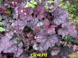 Гейхера  (heuchera ) камнеломковые (saxifragaceae) cascade dawn
