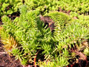 Очиток отогнутый (sedum reflexum) толстянковые (crassulaceae) cristatum