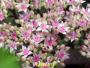 Очиток телефиум (sedum telephium) толстянковые (crassulaceae) matrona