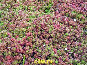 Очиток белый (sedum album) толстянковые (crassulaceae) coral carpet