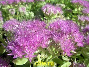 Очиток видный (sedum spectabile) толстянковые (crassulaceae) brilliant