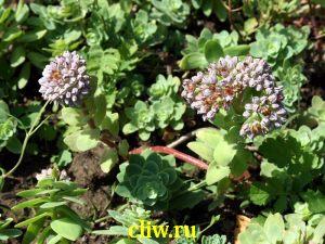 Очиток анакомпсерос (sedum anacampseros) толстянковые (crassulaceae)