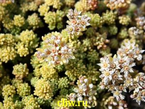 Очиток испанский (sedum hispanticum) толстянковые (crassulaceae) aureus