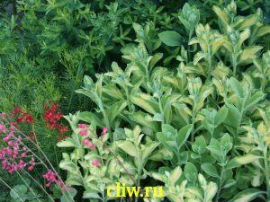 Очиток видный (sedum spectabile) толстянковые (crassulaceae) variegatum
