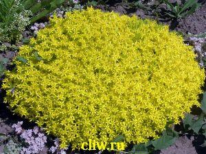 Очиток едкий (sedum acre) толстянковые (crassulaceae) elegans geel