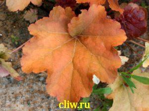 Гейхера  (heuchera ) камнеломковые (saxifragaceae) creme brulee