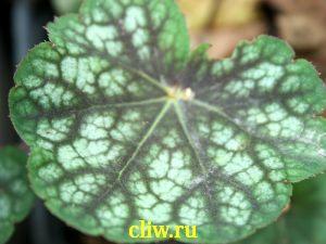 Гейхера  (heuchera ) камнеломковые (saxifragaceae) regina