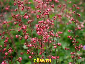 Гейхера  (heuchera ) камнеломковые (saxifragaceae) scintilation