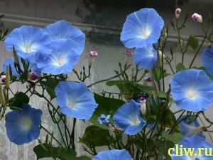 Ипомея пурпурная (ipomea purpurea) вьюнковые (convolvulus)