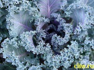 Капуста декоративная (brassica oleracea var. acephala) капустные (brssicaceae)