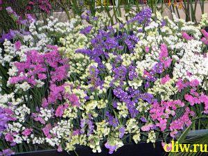 Кермек выемчатый (limonium sinuatum) свинчатковые (plumbaginaceae)