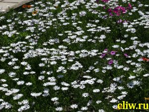 Диморфотека дождевая (dimorphotheca pluvialis) сложноцветные (asteraceae)