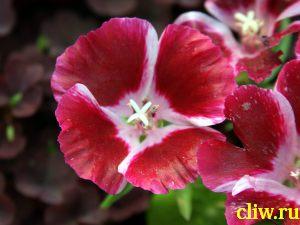 Годеция крупноцветковая (godetia grandiflora) кипрейные  (onagraceae)