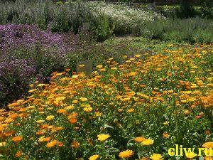 Календула лекарственная (calendula officinalis) астровые (asteraceae)