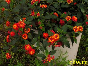 Вербена гибридная  (verbena hybrida) вербеновые  (verbenaceae)