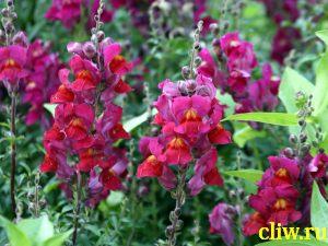 Львиный зев  (antirrhinum majus) норичниковые (scrophulariaceae)