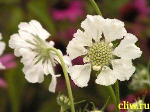 Скабиоза кавказская (scabiosa caucasica) ворсянковые (dipsacaceae)