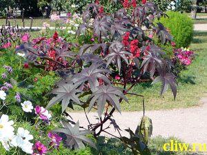 Клещевина обыкновенная (ricinus communis) молочайные (euphorbiaceae)