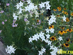 Табак крылатый (душистый) (nicotiana alata) пасленовые (solanaceae)