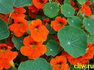 Настурция культурная (tropaeolum cultorum) настурциевые  (tropaeolaceae)