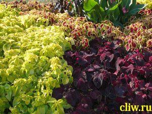 Колеус гибридный (сoleus hybrida) губоцветные (lamiaceae)