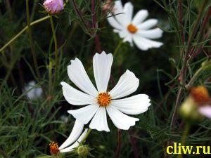 Космос дваждыперистый (cosmos bipinnatus) астровые (asteraceae)