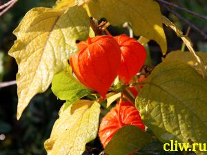 Физалис франше (physalis franchetii) пасленовые  (solanaceae)
