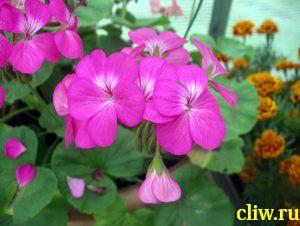 Пеларгония зональная (pelargonium zonale ) гераниевые (geraniaceae)