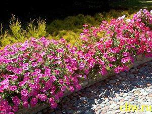 Петуния садовая (petunia hybrida) пасленовые (solanaceae)
