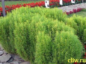 Кохия веничная (kochia scoparia) маревые (chenopodiaceae)