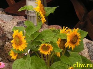 Подсолнечник однолетний (helianthus annus) астровые (asteraceae)