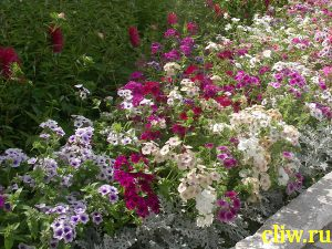 Флокс друммонда (phlox drammondii) синюховые (polemoniaceae)