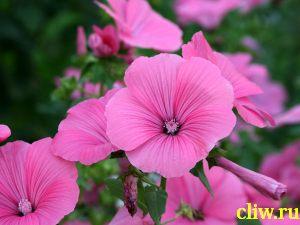Лаватера трехмесячная (lavatera trimestris) мальвовые (malvaceae)