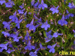 Лобелия ежевидная (lobelia erinus) колокольчиковые (campanulaceae)