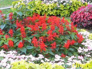 Сальвия блестящая (salvia splendens) губоцветные  (lamiaceae)