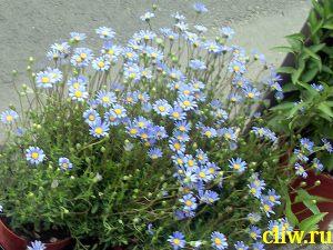 Фелиция нежная (felicia tenella  ) астровые (asteraceae)