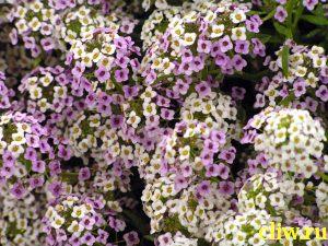 Алиссум морской (alyssum maritima) капустные (brassicaceae)