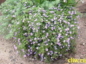 Бакопа раскидистая (bacopa diffusus) норичниковые (scrophulariaceae)