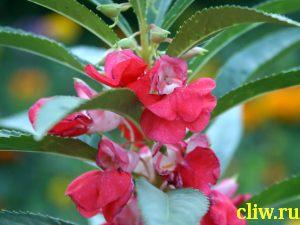 Бальзамин бальзаминовый (impatiens balsamina) бальзаминовые (balsaminaceae)