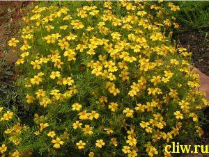 Бархатцы тонколистные (tagetes tenuifolia ) астровые (asteraceae)
