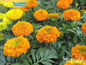 Бархатцы прямостоячие (tagetes ) астровые (asteraceae) orangeprince