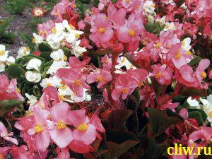 Бегония всегдацветущая (begonia semperflorens) бегониевые (begoniaceae)