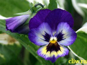 Виола виттрока (viola wittrokiana) фиалковые (violaceae)